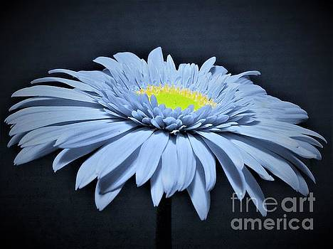 Artic Blue Gerber Daisy by Chad and Stacey Hall