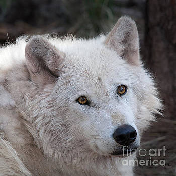 Artic Wolf by Laurinda Bowling