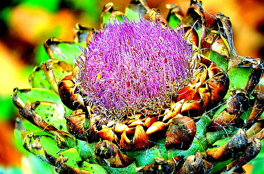 Artichoke Going To Seed  by Antonia Citrino