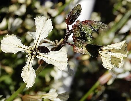 Beatrice Cox - Arugula Flower