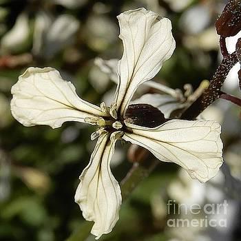 Beatrice Cox - Arugula Flower - uninhibited