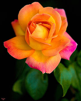 Chris Lord - Arundel Rose