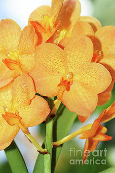 Ascocenda Su-Fun Beauty Orange Belle Orchids by Judy Whitton