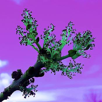 Colin Drysdale - Ash Tree Flower