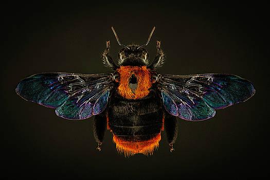 Asian Carpenter Bee by Gary Shepard
