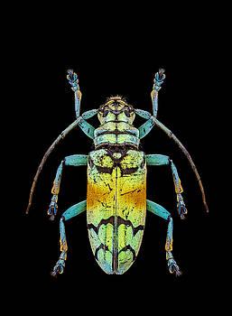 Asian Longhorn Beetle by Gary Shepard