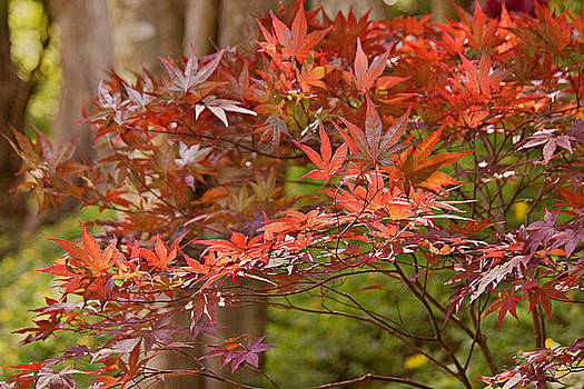 Asian Maple by Peter J Sucy