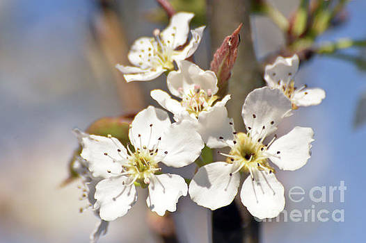Asian Pear Blossoms by Kerri Farley