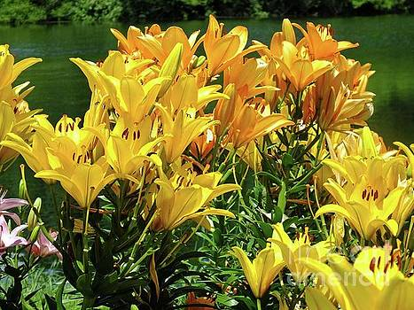 Cindy Treger - Asiatic Hybrid Lilies - Yellow