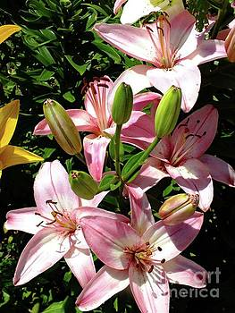 Cindy Treger - Asiatic Hybrid Lilies - Grouping