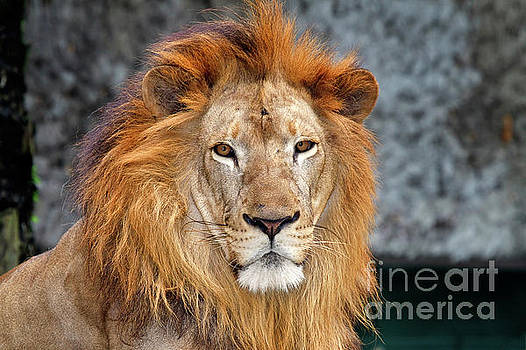Asiatic Lion by Louise Heusinkveld