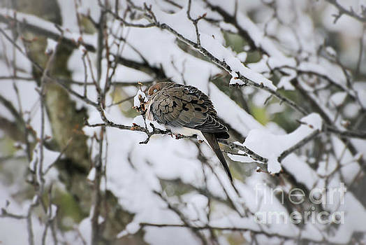 Asleep in the Snow - Mourning Dove by Kerri Farley