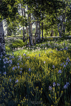 Aspen and Iris by Roy Kastning