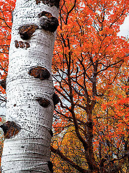 Aspen and Maple Trees Large Canvas Art, Canvas Print, Large Art, Large Wall Decor, Home Decor by David Millenheft