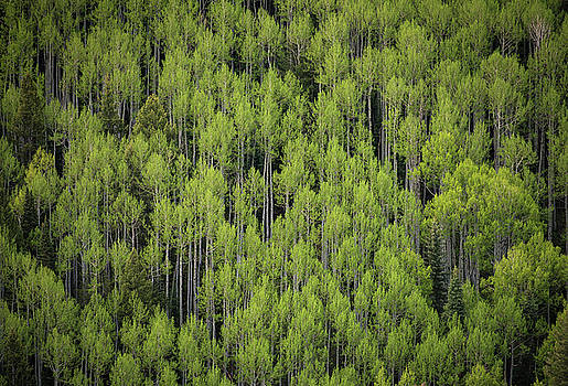 Aspen and Pines by Bud Simpson