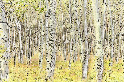 Steve Ohlsen - Aspen Forest 2 - Photo Painting