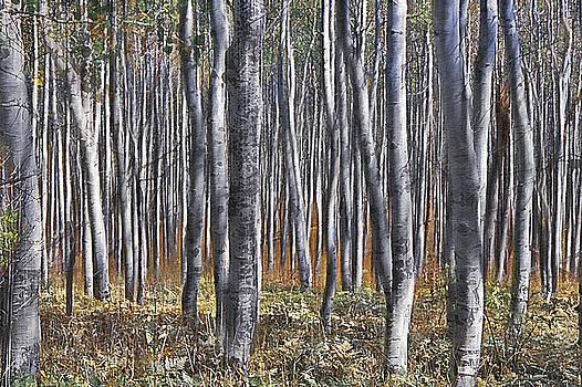Steve Ohlsen - Aspen Forest - Abstract