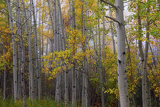 Aspen Forest Light by James BO Insogna