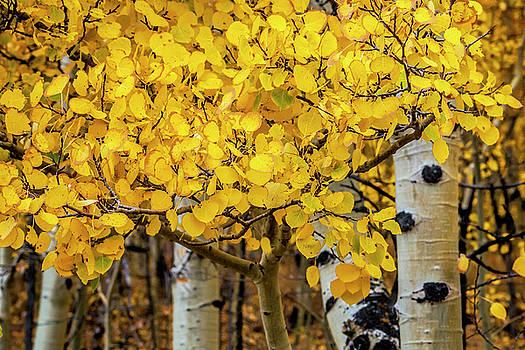 Aspen Gold by Andrew Soundarajan