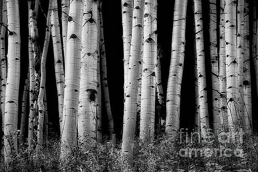 Aspen Grove 1 bw by Jerry Fornarotto
