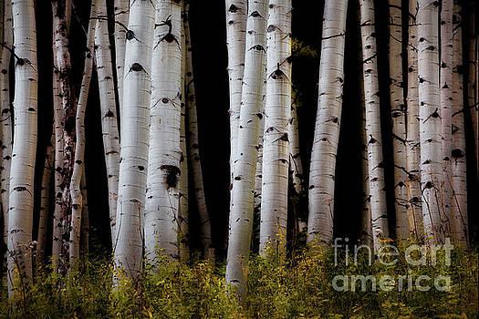Aspen Grove 1 by Jerry Fornarotto