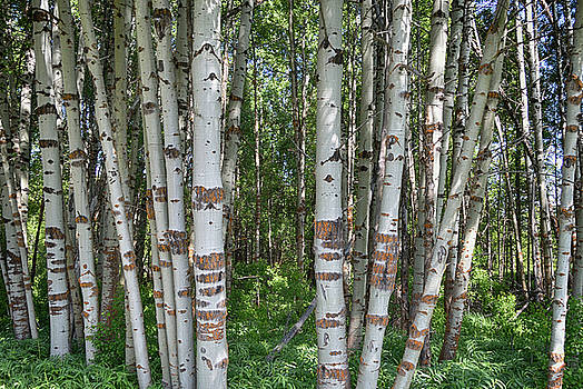 Aspen Grove Oregon by David Crockett
