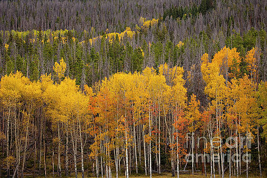 Aspen Grove by Timothy Johnson