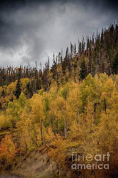 Aspen Hillside by Timothy Johnson