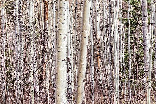Aspen by Joan McCool