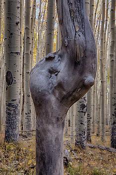 Aspen Knot by Tom Daniel