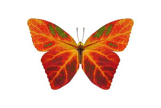 Aspen Leaf Butterfly 2 by Agustin Goba
