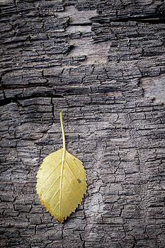 Mary Lee Dereske - Aspen Leaf on Bark