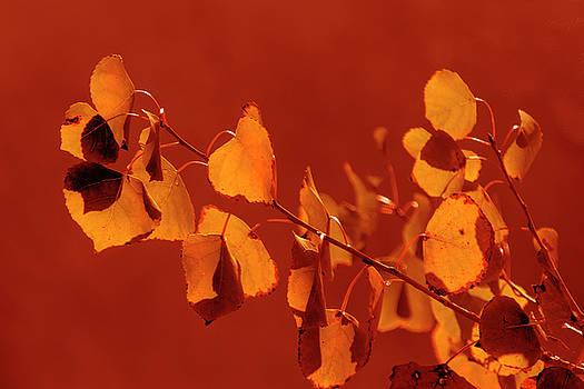Aspen Leaves in Autumn by Frank Wilson