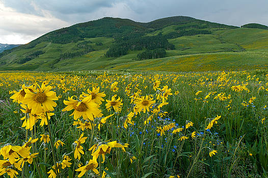 Aspen Sunflower and Mountain Landscape by Cascade Colors