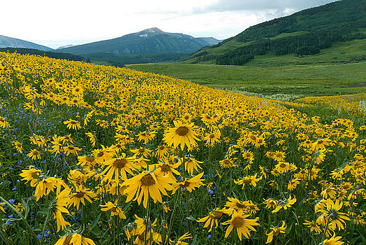 Aspen Sunflower Sunset Landscape by Cascade Colors