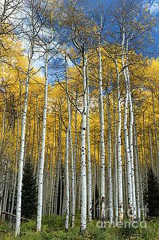 Aspen Trees, Colorado by Tibor Vari