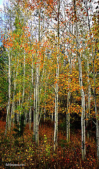 Aspen Trees in Fall by Edward Coumou
