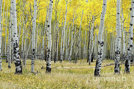 Aspen Trees in Yellow by Tibor Vari