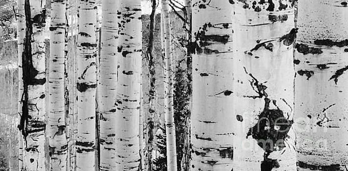 Aspen Trees by Kate Stoupas