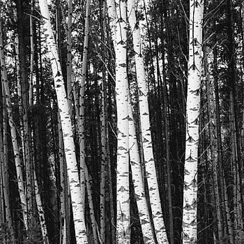 Aspen Trees by Rhea Malinofsky