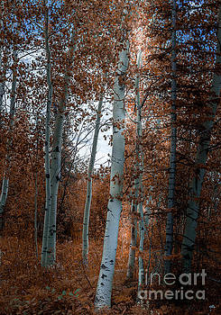 Aspen Trees Ryan Park Wyoming by Blake Webster