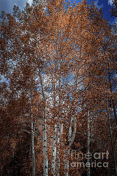 Aspen Trees Wyoming by Blake Webster