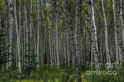 Wayne Moran - Aspen Woods Pyramid Lake Jasper National Park Alberta Canada