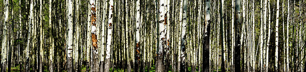Aspens 1 by Peter OReilly