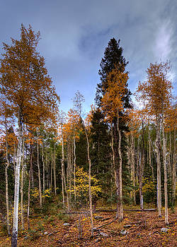 Aspens and Evergreens by Darin Williams