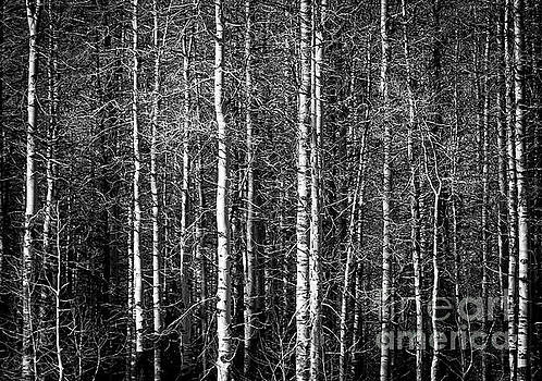 Aspens - Black and White by David Daniel