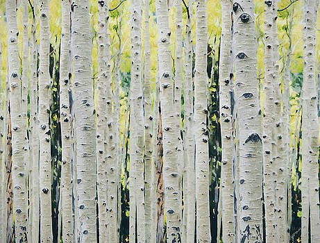 Aspens Forest - Painted by Ericamaxine Price