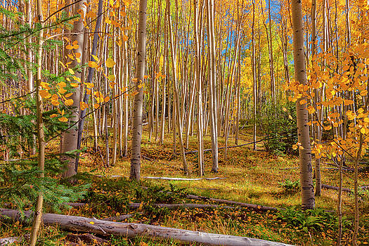 Brian Harig - Aspens In Autumn 12 - Santa Fe National Forest New Mexico