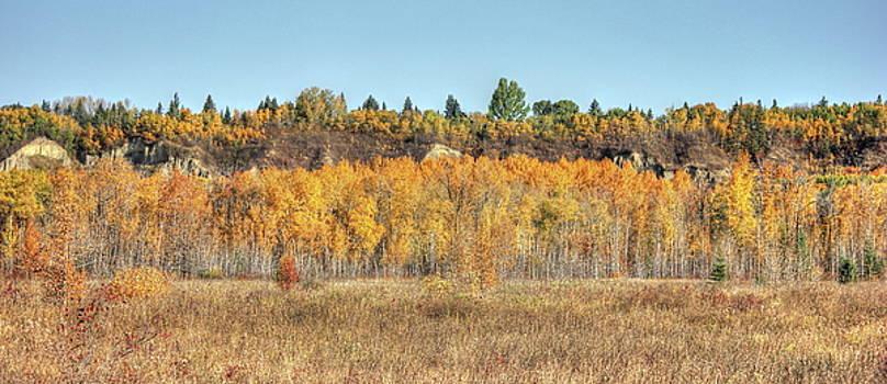 Aspens in Autumn by Jim Sauchyn