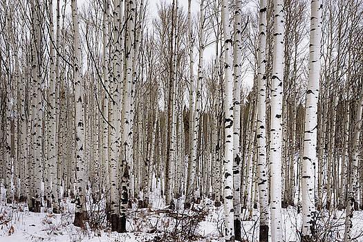 Brian Harig - Aspens In Winter - Colorado